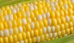 Corn Bi-color